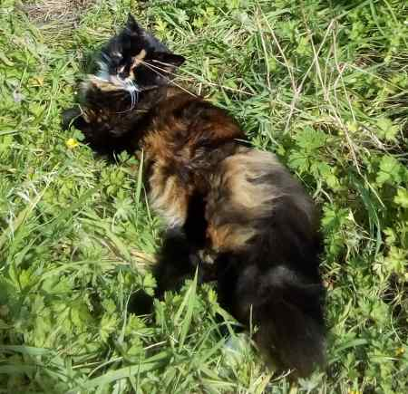 Missing Tortoiseshell Cat in Cornsay Colliery