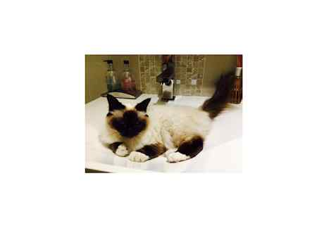 Missing Birman Cats in Broad Campden, Chipping Campden