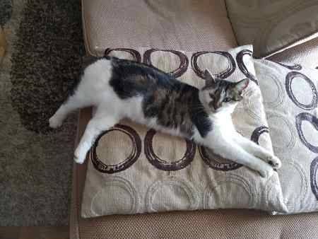 Missing Domestic Short Hair Cats in Leighton Buzzard