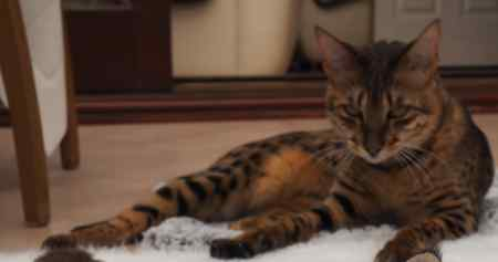 Missing Savannah Cats in Widnes