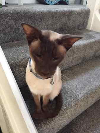 Missing Siamese Cat in Manchester