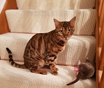 Lost Bengal Cat in Stanion
