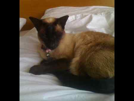Lost Siamese Cat in Timperley