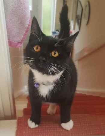Lost Domestic Short Hair Cat in Bamber Bridge, Preston