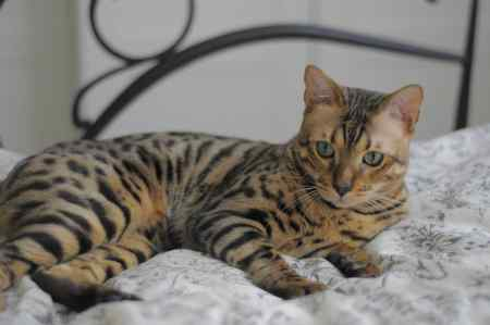 Missing Bengal Cat in Kingswood