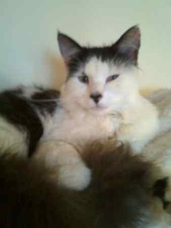 Missing Moggy Cat in STEVENAGE
