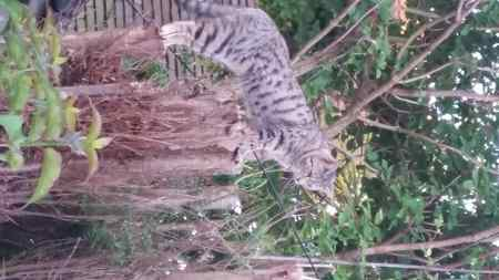 Missing Bengal Cat in Willingdon