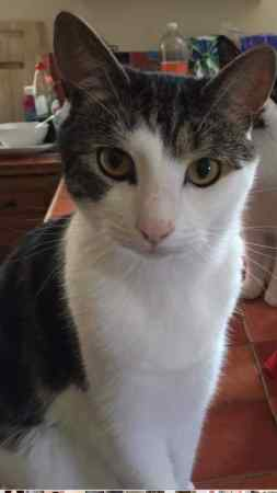 Lost Domestic Short Hair Cat in Caterham
