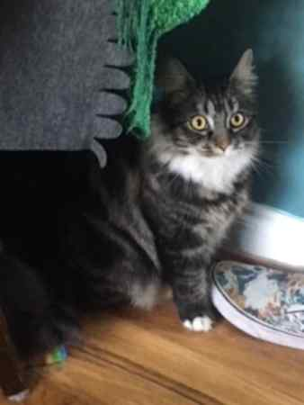 Missing Maine Coon Cats in Flitwick