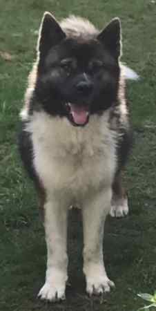 Missing Akita Dogs in Didsbury