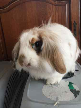 Missing Lop Eared Rabbit in Colchester