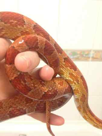 Missing Corn Snake in Montpelier