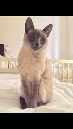 Missing Siamese Cat in Epping