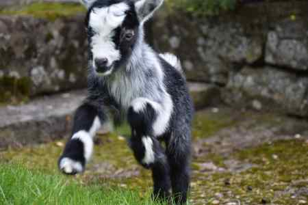 Missing Goat Exotics in Ampfield
