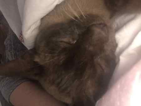 Missing Burmese Cats in East Finchley