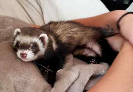 Missing Unknown - Other Ferrets in Torquay