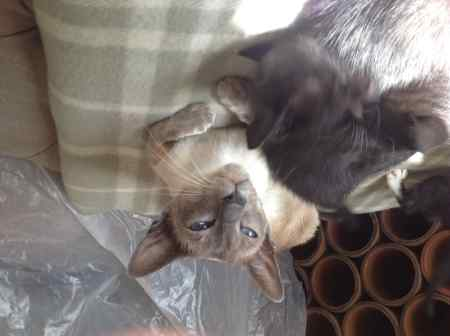 Missing Siamese Cat in Little Thornton