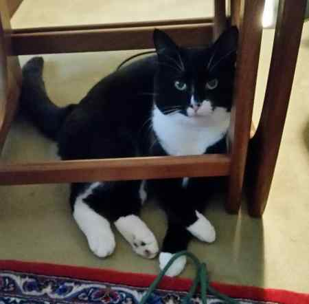 Missing Moggy Cat in Itchingfield Near Horsham