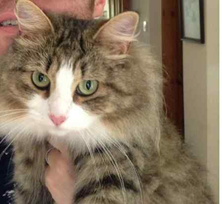 Missing Norwegian Forest Cats in Northwich