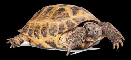 Missing Tortoise Exotic in Hanworth