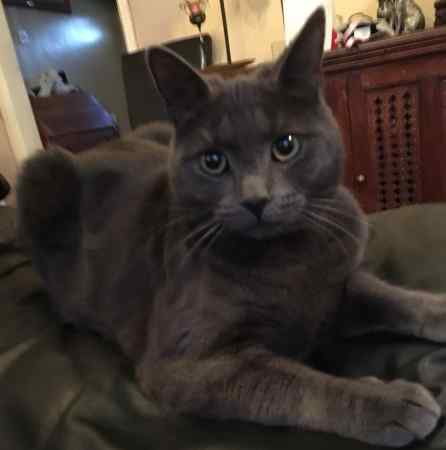 Missing Russian Blue Cats in Cippenham