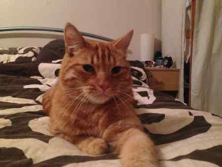 Lost Domestic Short Hair Cat in Wombwell
