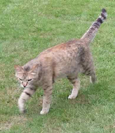 Lost Unknown - Other Cat in Wrotham