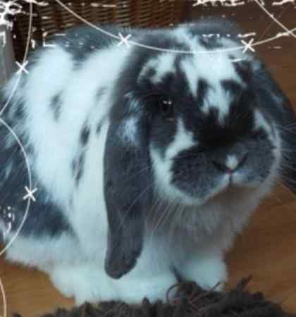 Missing Lop Eared Rabbit in Sunderland