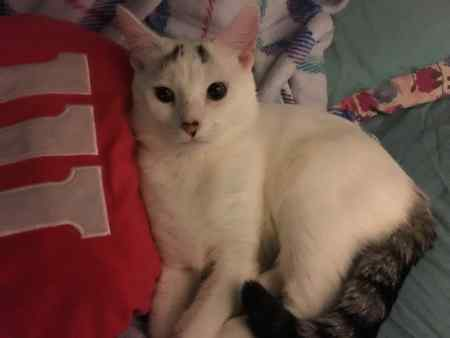 Lost Mixed Breed Cat in Cricklewood London