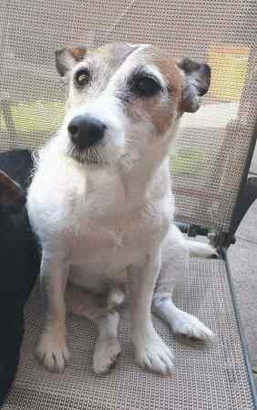 Missing Jack Russell Dogs in Doncaster