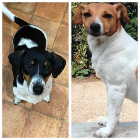 Missing Jack Russell Dogs in Farley Hill