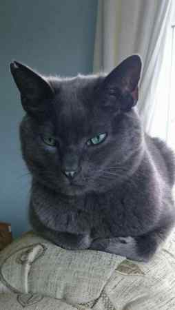 Missing British Blue Cats in Heywood Westbury