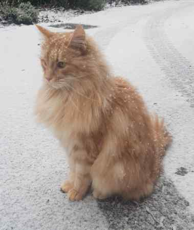 Have you Lost a Maine Coon Cat? Search for lost Maine Coon cats at NMPR