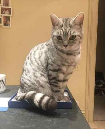 Missing British Short Hair Cats in Bowdon