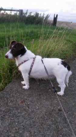 Missing Jack Russell Dogs in Aylesbury
