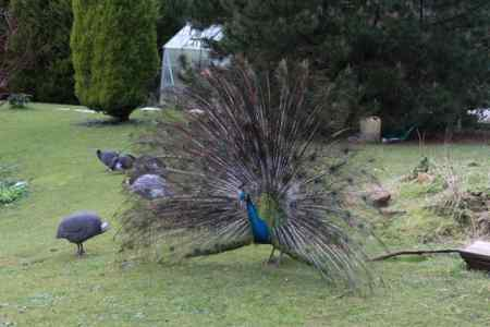 Lost Peacock Bird in Helston
