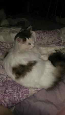 Lost Persian Cat in Highbury, London