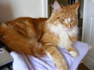 Missing Maine Coon Cats in Ilkley