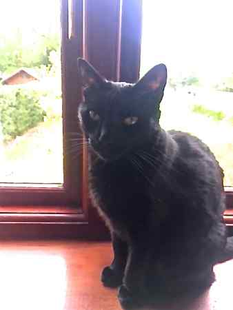 Missing Domestic Short Hair Cats in Prey Heath, Woking