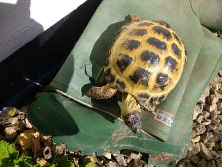 Missing Tortoise Exotic in Wanborough