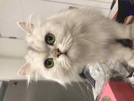 Missing Persian Cat in Kensington
