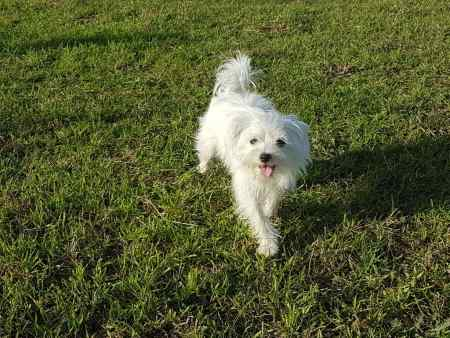 Missing Maltese Dogs in Stone Creek Near Hull