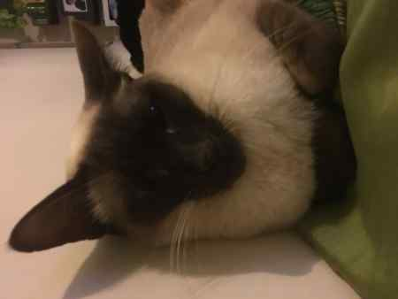 Missing Siamese Cat in Anlaby