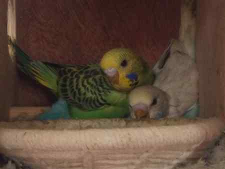 Missing Budgie Birds in Oswestry