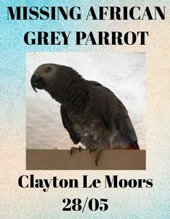 Missing Parrot, Parakeet Birds in Clayton-le-moors