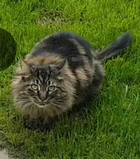 Missing Semi-Long Hair Cats in Luton