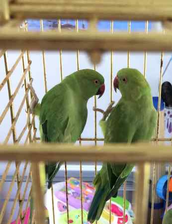 Missing Parrot, Parakeet Birds in Peasmarsh