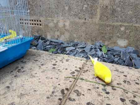 Missing Budgie Birds in Shepton Mallet