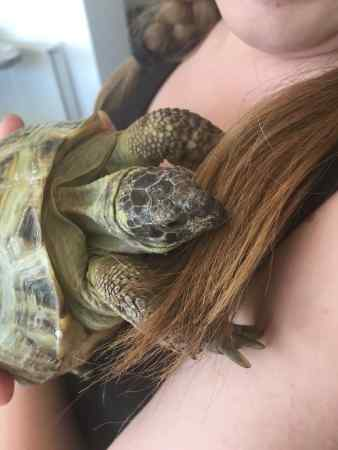 Missing Tortoise Exotic in Roydon