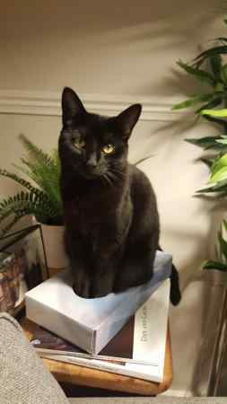 Missing British Short Hair Cats in Stratford, London